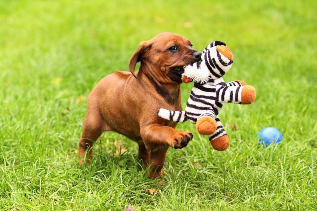 Rhodesian ridgeback pup